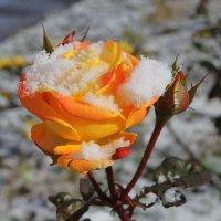 Роза в снегу :: оксана косатенко