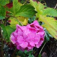 Цветы в ноябре - Гортензия :: Маргарита Батырева