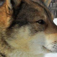 Деревенский пёс :: OLLES