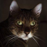 Портрет кота :: Виктория Большагина