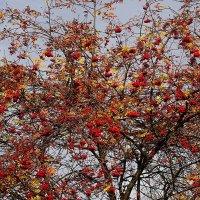 Красная рябина на фоне неба :: Маргарита Батырева