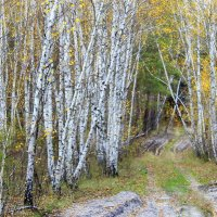 И у лесных дорог встречаются березы... :: Валентина ツ ღ✿ღ