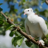 Белый голубь :: Александр Синдерёв