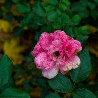 Осенняя роза :: София