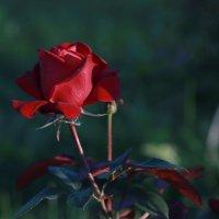 Так вот ты какой, цветочек аленький... :: Алёна Гершфельд