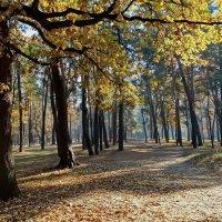 Утро в сосновом лесу Фото№3 :: Владимир Бровко