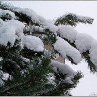 Снежные лапы.... :: Любовь К.