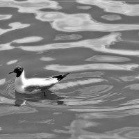 Чайка на Ижевском пруду :: muh5257