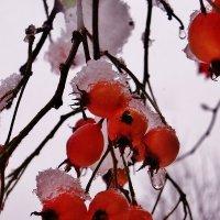 Рубиновые ягодки . :: Святец Вячеслав