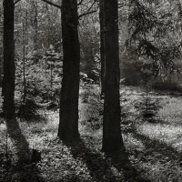 В черно-белом лесу... :: Владимир Буравкин