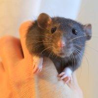 Крысенок :: ninell nikitina