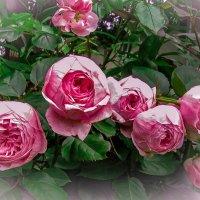 Розы :: Мария Богуславская