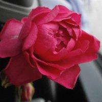 PRO розу .... :: Алёна Савина