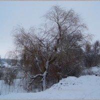 Ива в снегу на берегу... :) :: Любовь К.