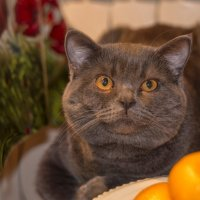 Кот с мандаринами. :: Елена Струкова