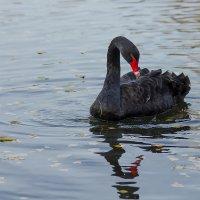 Чёрный лебедь :: Александр Синдерёв