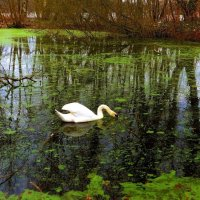 """ А белый лебедь на пруду..."" :: Nina Yudicheva"