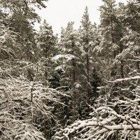 Снежные ветви :: Aнна Зарубина