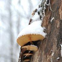 Зимние грибы. :: Алексей .