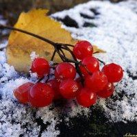Горчинка лёгкая калины плодов заморских нам милее.. :: Андрей Заломленков