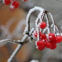 Зимняя калина :: Ната Волга