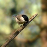 гаичка :: linnud