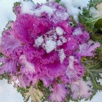 капуста под снегом :: Елена Кордумова
