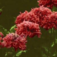Маков цвет. Poppy bloom. :: Юрий Воронов