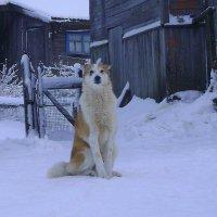 Карельские собаки-1 :: Марина Домосилецкая