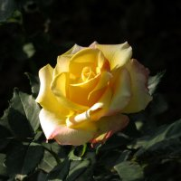 Желтая красота :: Наталья Джикидзе (Берёзина)