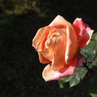 Роза :: Наталья Джикидзе (Берёзина)