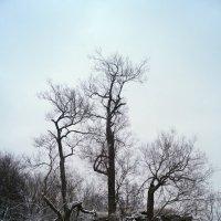 Зимние деревья. :: сергей лебедев