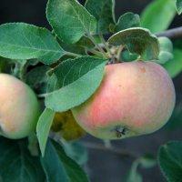 яблочки :: Dasha Kozhalo