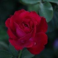 роза :: Dasha Kozhalo