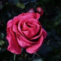 Роза :: Оксана Ананьева