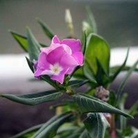 цветок :: Сергей Старовойт