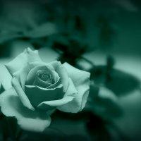 Голубая роза :: Сергей Калиновский