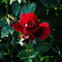 Роза :: Ксения Макаревич
