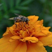Сбор нектара. :: Helen Helen