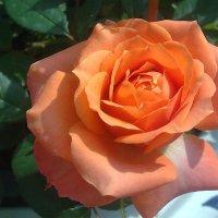 Роза :: Наталия Павлова