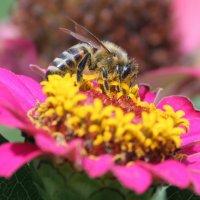 Пчелка :: Сергей Кондратович