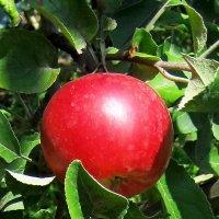 Красное яблоко августа. :: Александр Бурилов