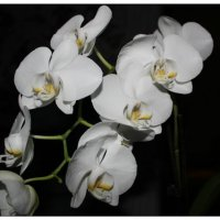 орхидея :: Юлия Тарасенко