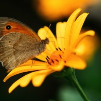 Бабочка в процессе поглощения пищи :: Сергей Шиповалов
