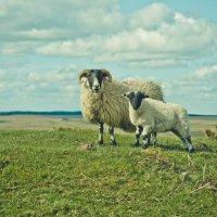 Из серии Британские овцы :: Максим Музалевский