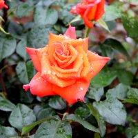 roza :: ангелина гончарук