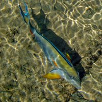 Рыбки Красного моря. Хирург :: Ирина Приходько