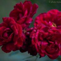 Зацвели на даче розы :: Борис Устюжанин