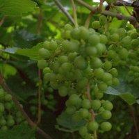 Скоро будет виноград! :: Людмила Якимова