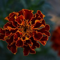 Цветы :: Рома Рекивчак